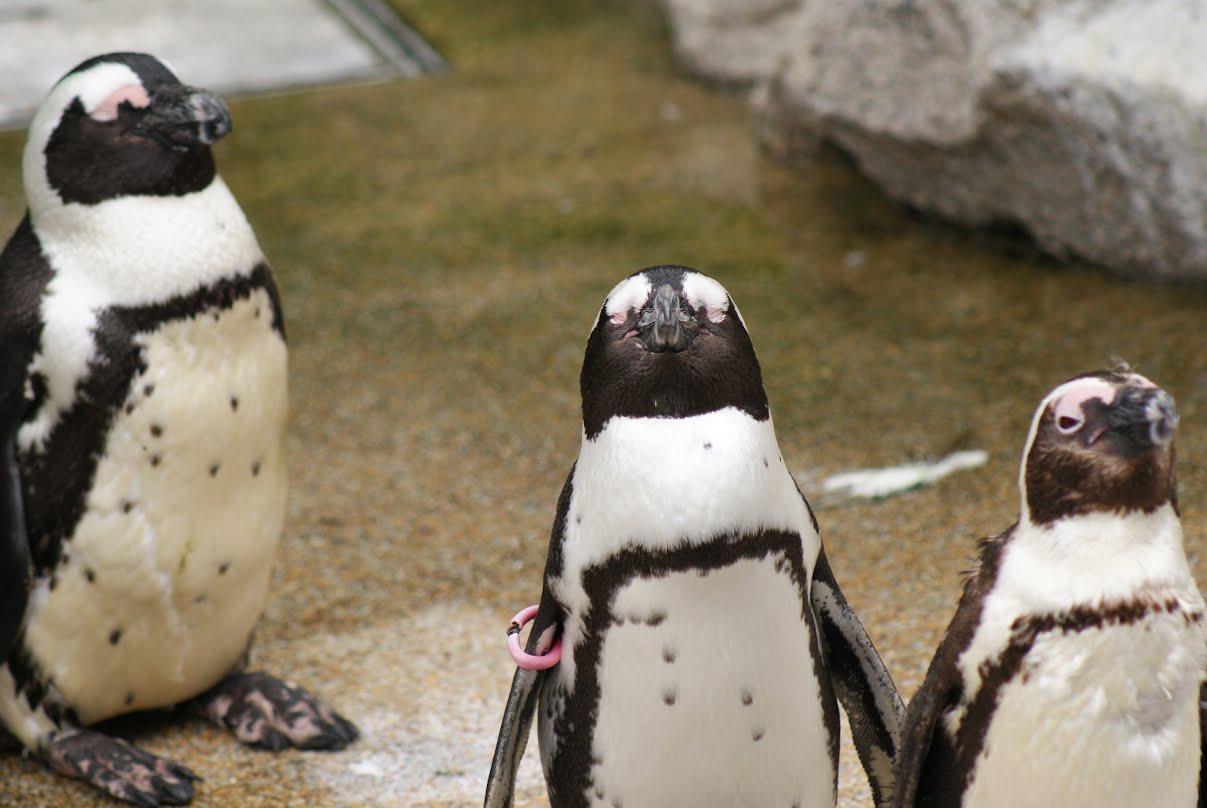 Jurong Bird Park, Singapore - African Penguins