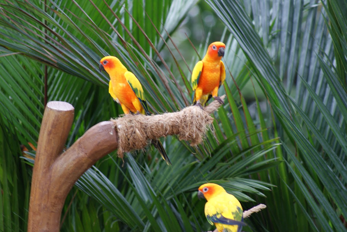 Jurong Bird Park - Yellow Parrots