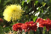 Chrysanthumums in Our Garden ( Meerut, UP )