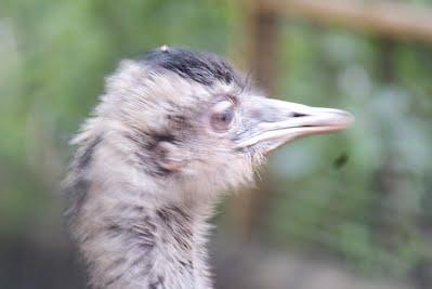 Jurong Bird Park, Singapore - Emu