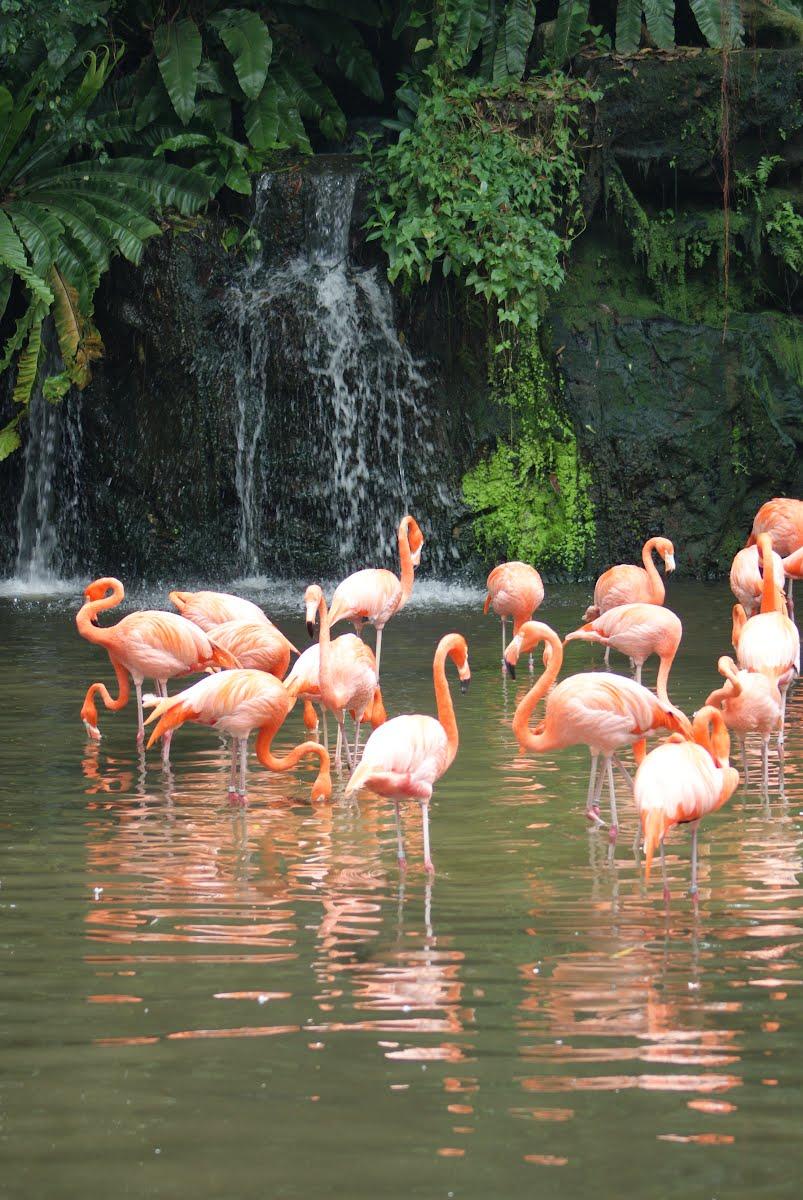 Jurong Bird Park, Singapore -  Flamingos