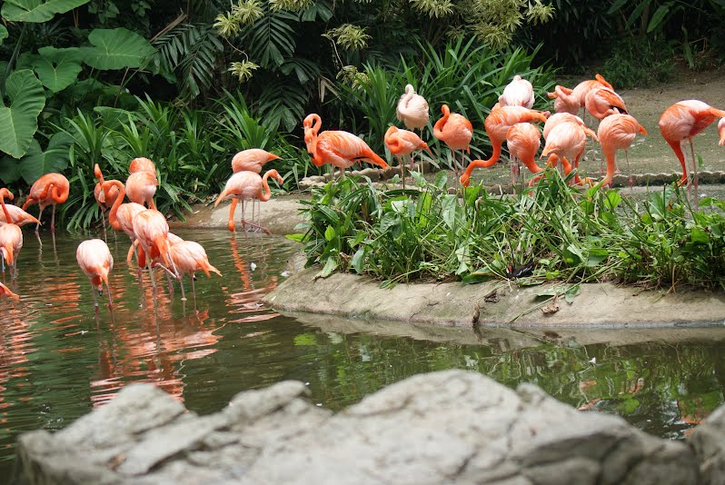 Jurong Bird Park, Singapore - Pictures of Flamingos