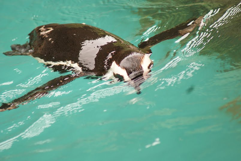 Penguins in and around the water - Jurong Bird Park, Singapore