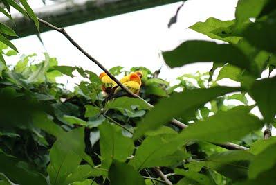 Jurong Bird Park - Yellow Parrots